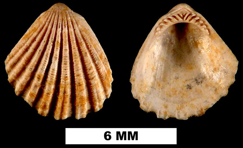 <i>Glycymeris duplinensis</i> from the Late Pliocene Duplin Fm. of Duplin County, North Carolina (UF 206514).