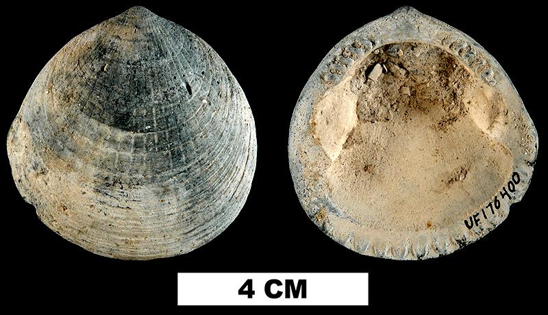 <i>Glycymeris laevis</i> from the Late Pliocene Tamiami Fm. (Pinecrest Beds) of Sarasota County, Florida (UF 176400).