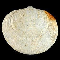Glycymeris quinquerugata
