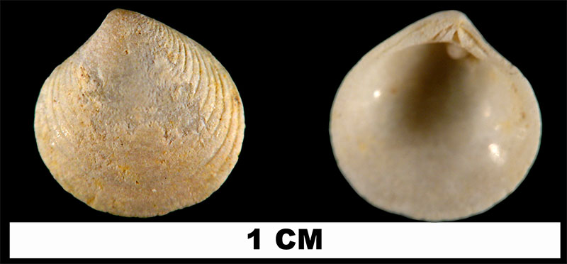 <i>Gouldia erosa</i> from the Early Miocene Chipola Fm. of Calhoun County, Florida (UF 114198).