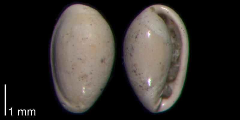 <i>Granulina ovuliformis</i> from the Early Pleistocene James City Formation of Beaufort County, North Carolina (PRI 70495).