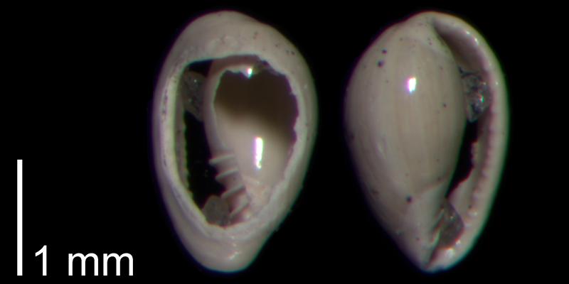 <i>Granulina ovuliformis</i> from the Early Pleistocene James City Formation of Beaufort County, North Carolina (PRI 70507).