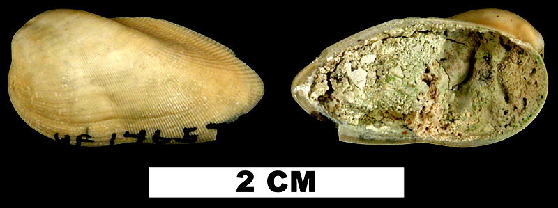 <i>Gregariella coralliophaga</i> from the Middle Pleistocene Bermont Fm. of Palm Beach County, Florida (UF 146571).
