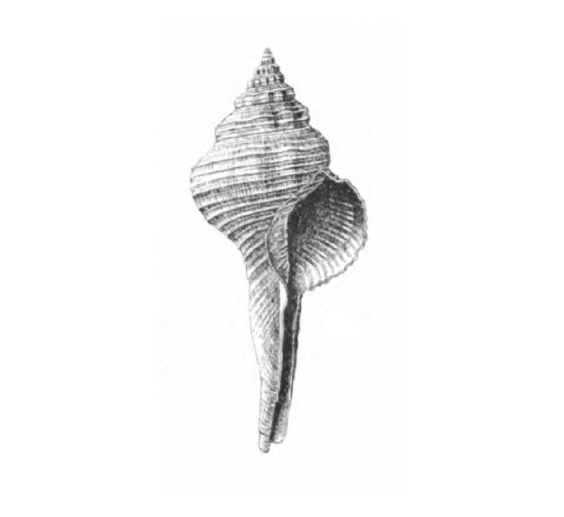 Specimen of <i>Fusinus carolinensis</i> figured by Dall (1892, pl. 14, fig. 4a); 70.0 mm.
