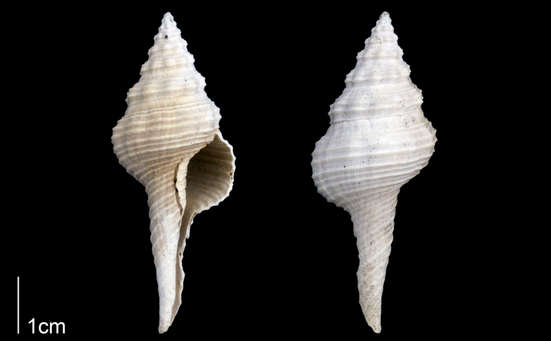 <i>Fusinus carolinensis</i> from the Late Pliocene Tamiami Fm. (Pinecrest Beds) of Sarasota County, Florida (PRI 70094).