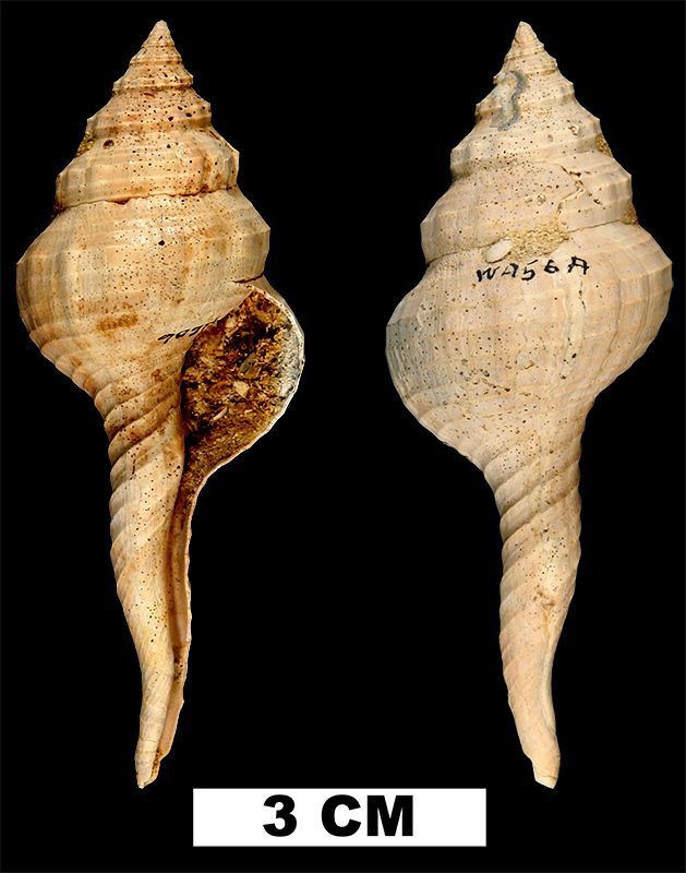 <i>Fusinus carolinensis</i> from the Early Pleistocene Waccamaw Fm. of Horry County, South Carolina (UF 212686).