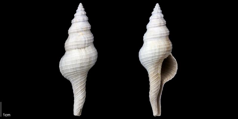 <i>Fusinus florida</i> from the Late Pliocene Tamiami Fm. (Pinecrest Beds) of Sarasota County, Florida (PRI 70093).