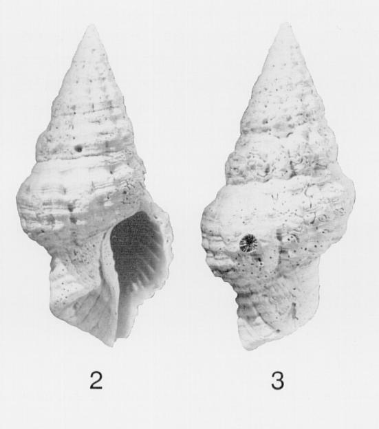 Specimen of <i>Hemipolygona nosali</i> figured by Lyons (1991, fig. 2 and 3); no scale