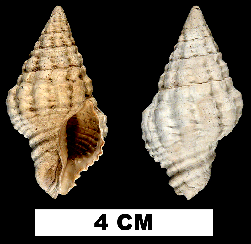 <i>Hemipolygona nosali</i> from the Plio-Pleistocene (formation unknown) of Sarasota County, Florida (UF 32571).