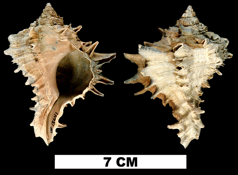 <i>Hexaplex fulvescens</i> from the Middle Pleistocene Bermont Fm. (Lower Shell Bed) of Hillsborough County, Florida (UF 13641).