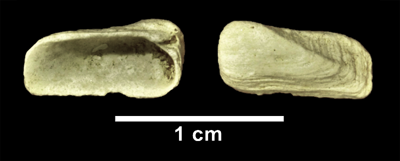 <i>Hiatella arctica</i> from the Late Pliocene Yorktown Fm. (Sunken Meadow Member) of Frederick County, Virginia (SDSM 110115).
