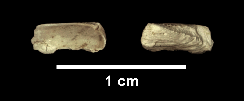 <i>Hiatella arctica</i> from the Late Pliocene Yorktown Fm. of Isle of Wight County, Virginia (SDSM 112591).