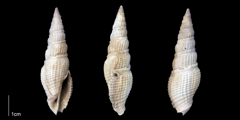 <i>Hindsiclava antealesidota</i> from the Late Pliocene Tamiami Fm. (Pinecrest Beds) of Sarasota County, Florida (PRI 70149).