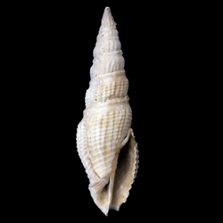 Hindsiclava antealesidota
