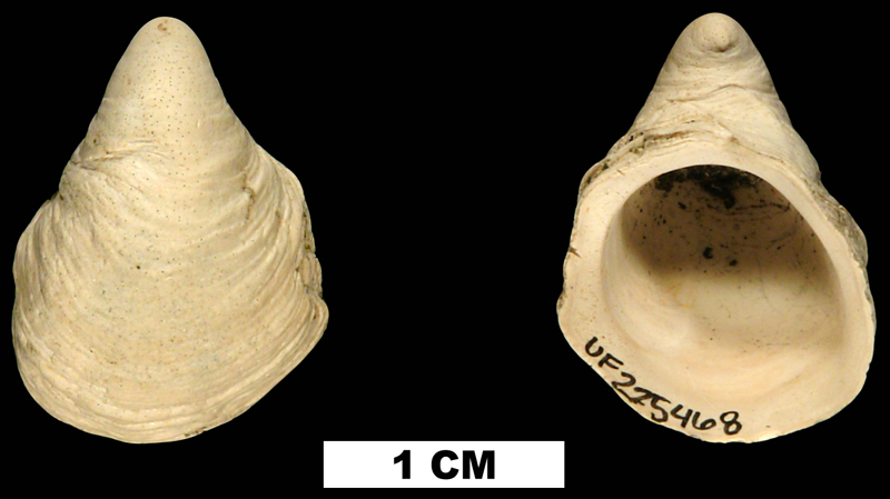 <i>Hipponix floridanus</i> from the Plio-Pleistocene (formation unknown) of Sarasota County, Florida (UF 225468).