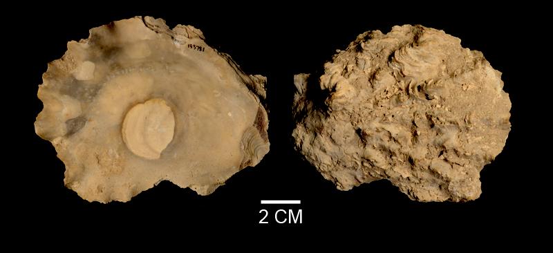 <i>Hyotissa haitensis</i> from the Late Pliocene Tamiami Fm. (Pinecrest Beds) of Sarasota County, Florida (SDSM 133781).