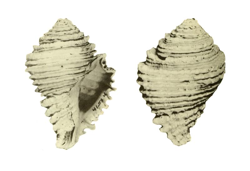 Specimen of <i>Hystrivasum olssoni</i> figured by Hollister (1971, pl. 39, fig. 1 and 4); 81 mm in length.