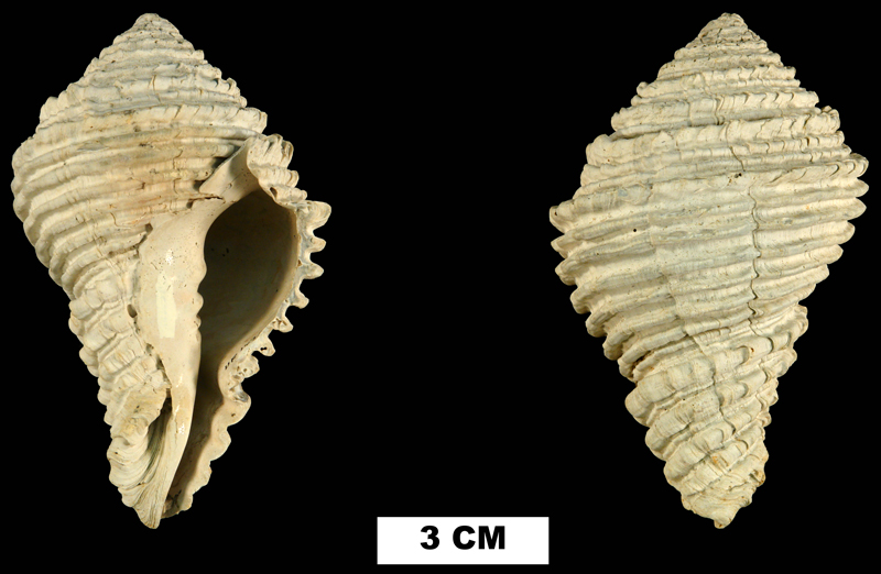 <i>Hystrivasum olssoni</i> from the Late Pliocene Tamiami Fm. (Pinecrest Beds) of Highlands County, Florida (UF 14755).