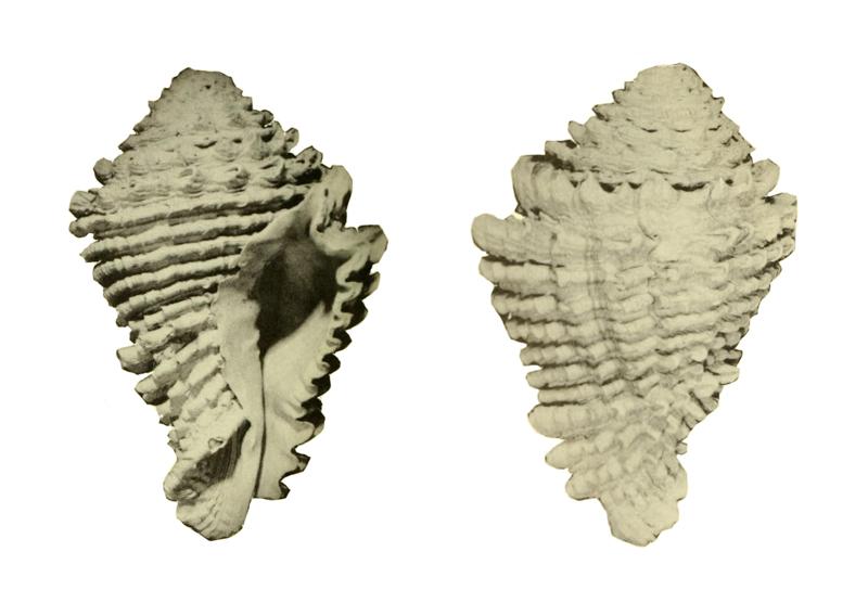 Specimen of <i>Hystrivasum squamosum</i> figured by Hollister (1971, pl. 37, fig. 1 and 4); 122 mm in length.