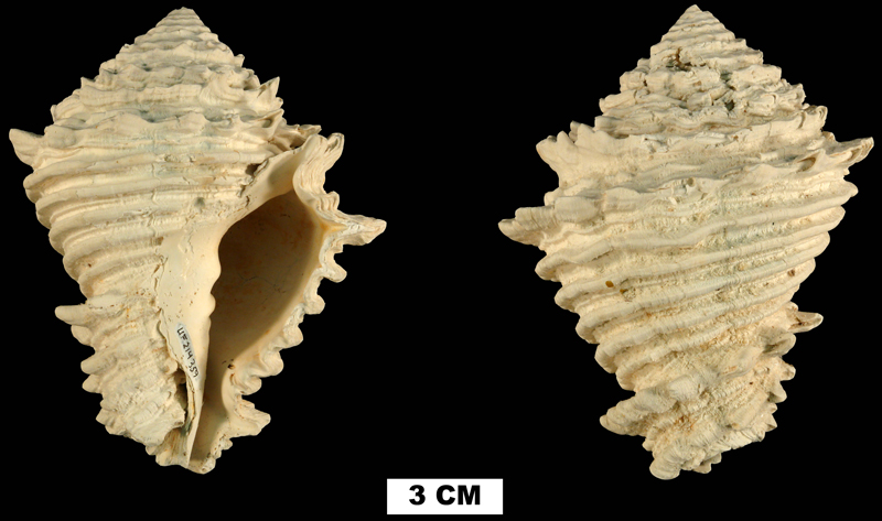 <i>Hystrivasum schrinerae</i> from either the Late Pliocene Tamiami Fm. (Pinecrest Beds) or the Early Pleistocene Caloosahatchee Fm. of Okeechobee County, Florida (UF 214359).