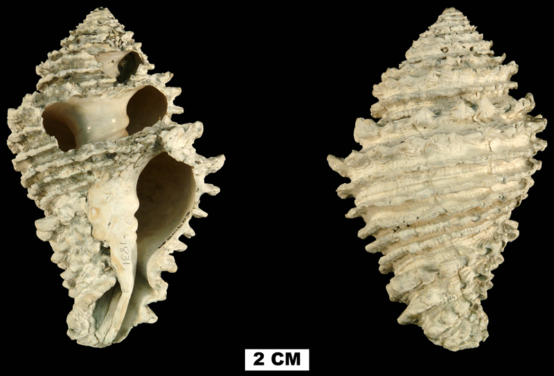 <i>Hystrivasum squamosum</i> from the Late Pliocene Tamiami Fm. (Pinecrest Beds) of Highlands County, Florida  (UF 201603).