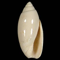 Jaspidella cofacorys