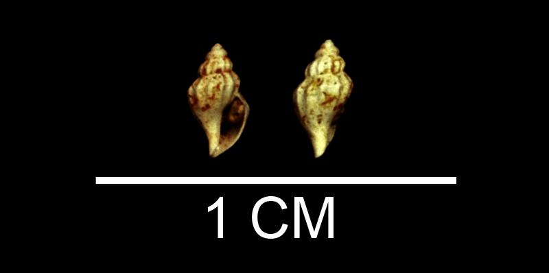 <i>Kurtziella smithfieldensis</i> from the Late Pliocene Yorktown Fm. of Isle of Wight County, Virginia (SDSM 135252).