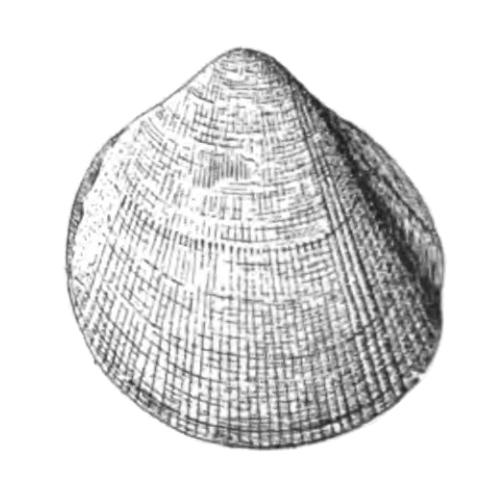 Specimen of <i>Laevicardium compressum</i> figured by Dall (1900, pl. 48, fig. 21); 23.0 mm in length.