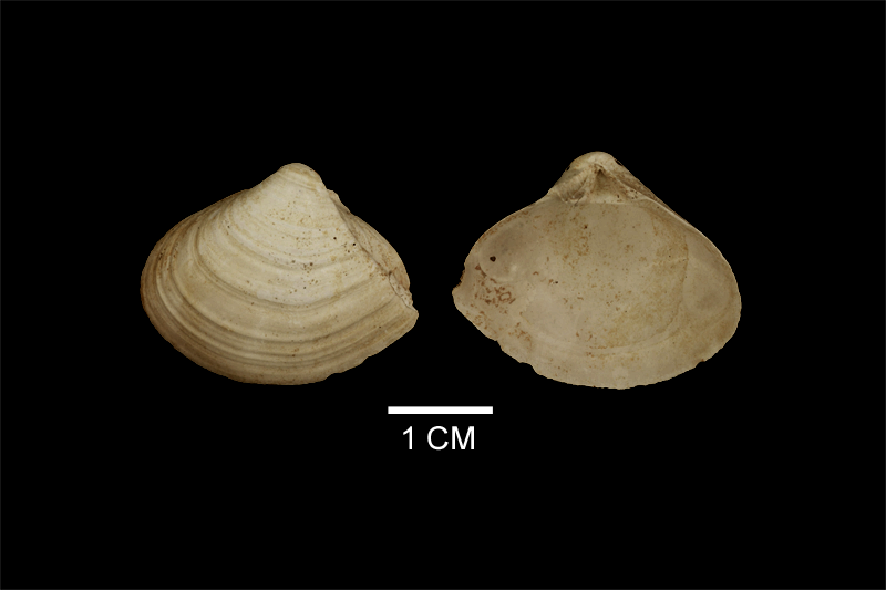 <i>Lenticorbula idonea</i> from the Late Pliocene Yorktown Fm. of Isle of Wight County, Virginia (SDSM 112557).