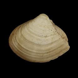 Lenticorbula idonea