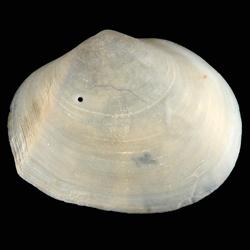Leporimetis ephippium