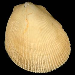 Limaria caloosana