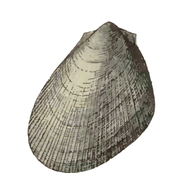 Specimen of <i>Limaria carolinensis</i> figured by Dall (1898, pl. 35, fig. 21); 16.5 mm in length.