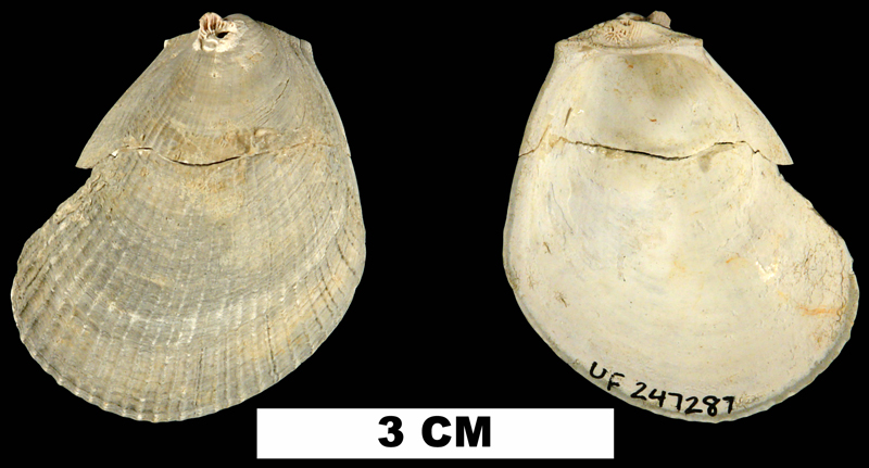 <i>Limaria carolinensis</i> from the Late Pliocene Jackson Bluff Fm. of Leon County, Florida (UF 247287).