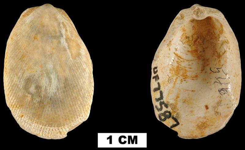 <i>Limaria chipolana</i> from the Early Miocene Chipola Fm. of Calhoun County, Florida (UF 77587).