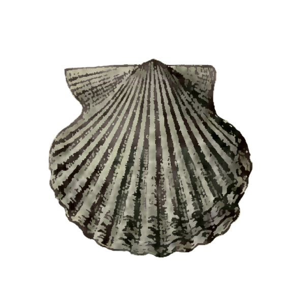Specimen of <i>Lindapecten chipolanus</i> figured by Dall (1898, pl. 29, fig. 9); 25.5 mm in length.