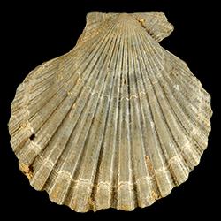 Lindapecten chipolanus