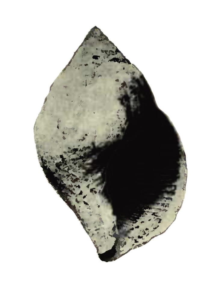 Specimen of <i>Liochlamys bulbosa</i> figured by Heilprin (1886, pl. 2, fig. 7); unknown length.