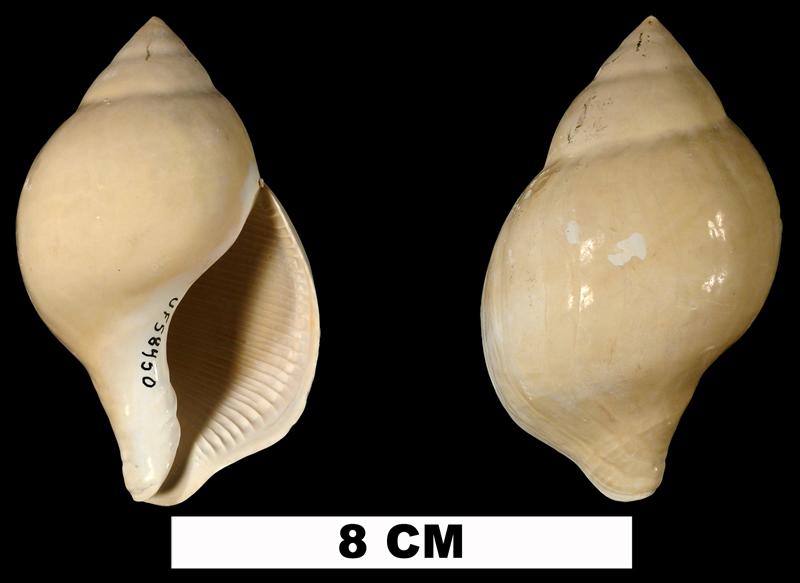 <i>Liochlamys bulbosa</i> (UF 58450).
