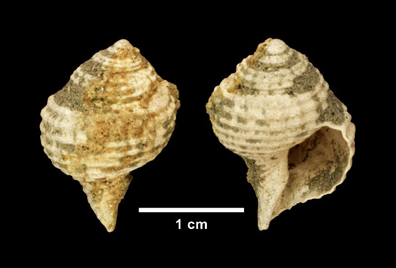 <i>Lirosoma sulcosa</i> from the Late Pliocene Yorktown Fm. of Isle of Wight County, Virginia (SDSM 139686).