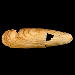 Lithophaga antillarum