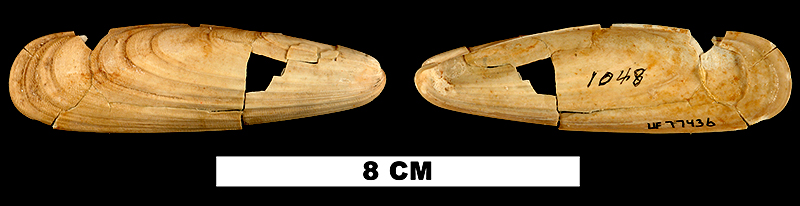 <i>Lithophaga antillarum</i> from the Early Miocene Chipola Fm. of Calhoun County, Florida (UF 77436).