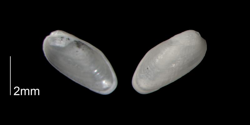 <i>Lithophaga yorkensis</i> from the Early Pleistocene Waccamaw Fm. of Brunswick County, North Carolina (PRI 70453).