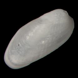 Lithophaga yorkensis