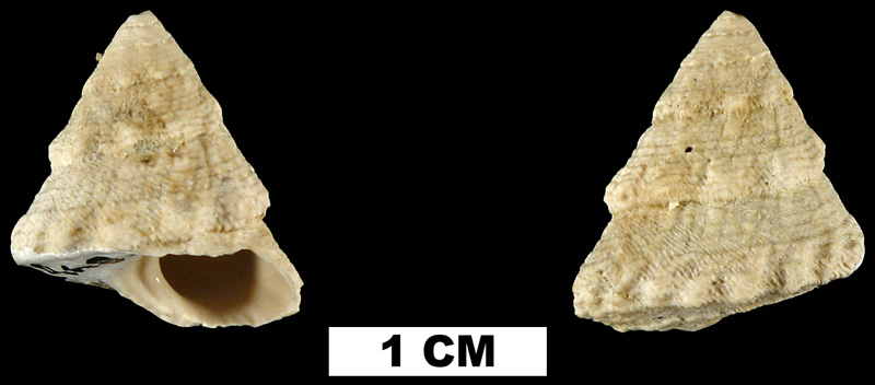 <i>Lithopoma precursor</i> from the Early Pleistocene Caloosahatchee Fm. of Hendry County, Florida (UF 58465).