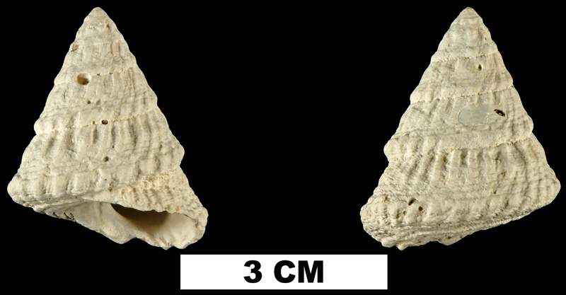 <i>Lithopoma tectariaeformis</i> from the Late Pliocene Tamiami Fm. (Pinecrest Beds) of Collier County, Florida (UF 58946).