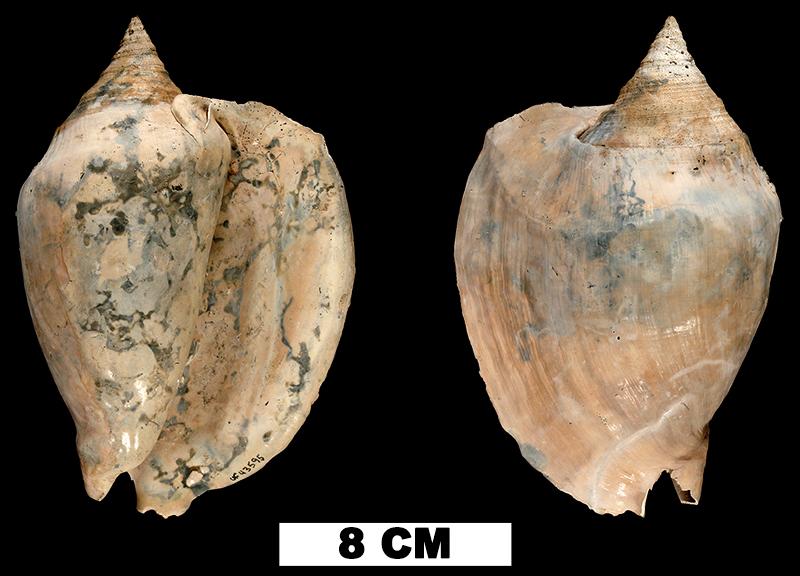<i>Lobatus hertweckorum</i> from the Plio-Pleistocene (formation unknown) of Sarasota County, Florida (UF 43595).