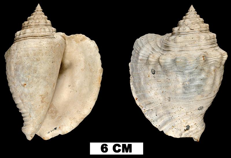 <i>Lobatus mayacensis</i> from the Middle Pleistocene Bermont Fm. of Palm Beach County, Florida (UF 54077).