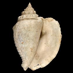 Lobatus mayacensis