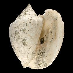 Lobatus williamsi